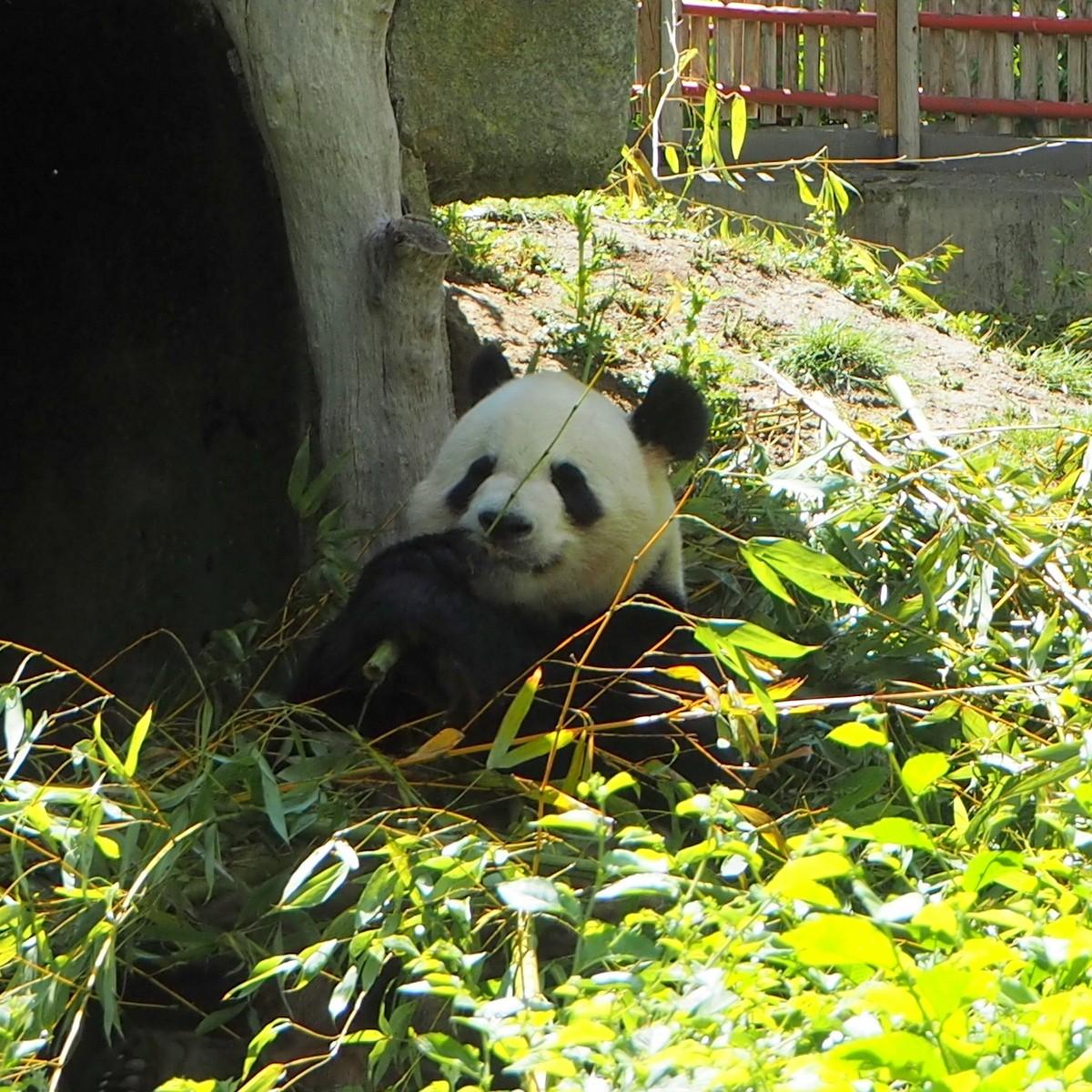 Madrid Zoo Panda