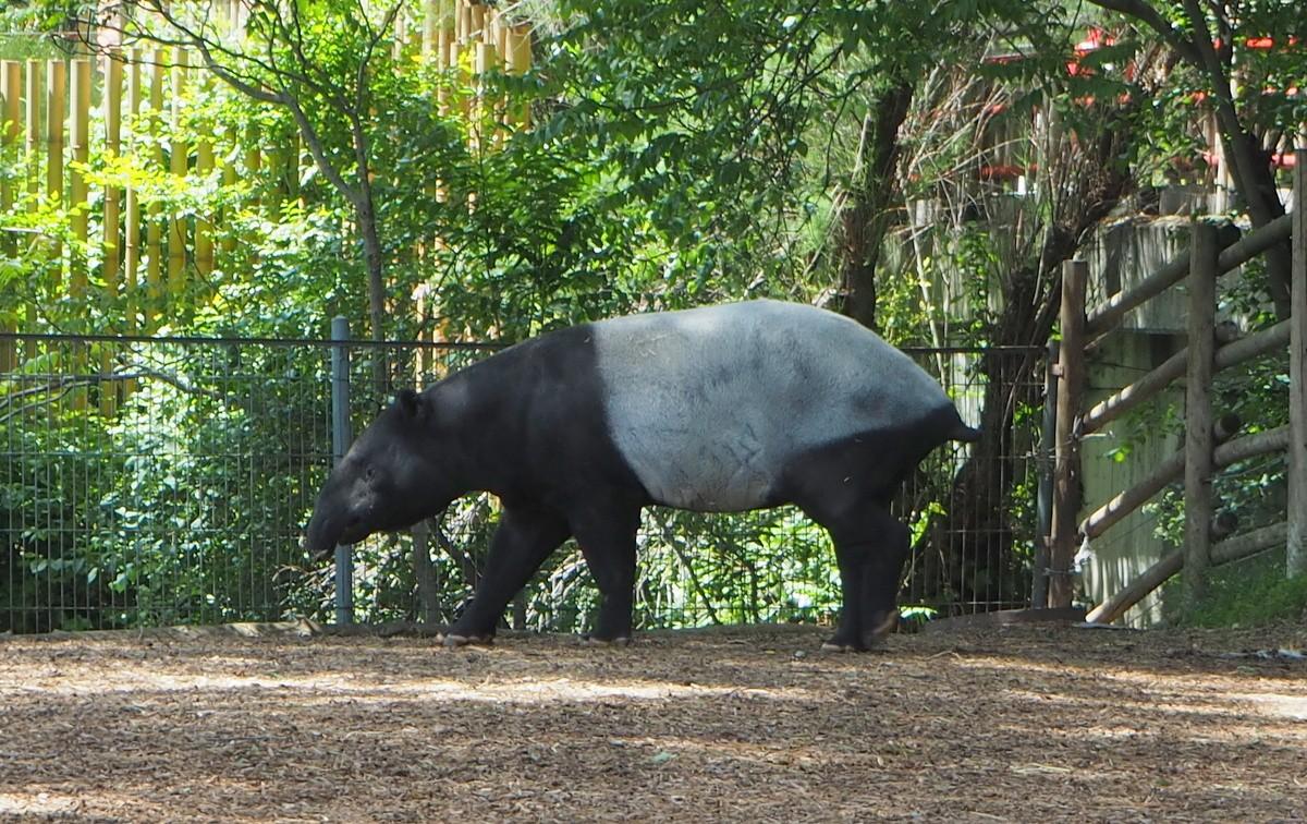 Madrid Zoo tapiiri