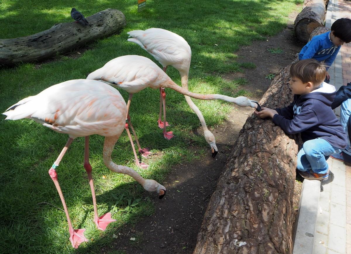 Madrid Zoo flamingoja