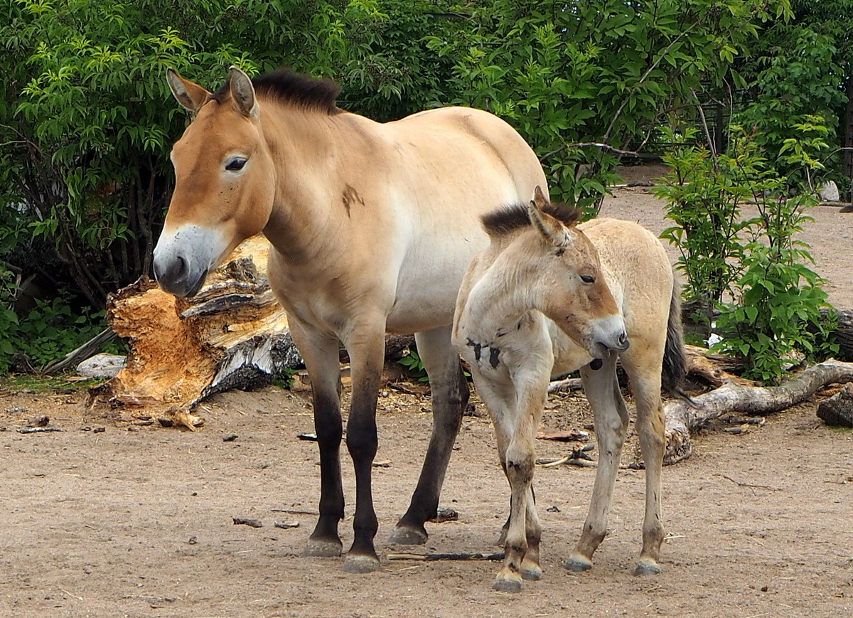 Mongolianhevonen