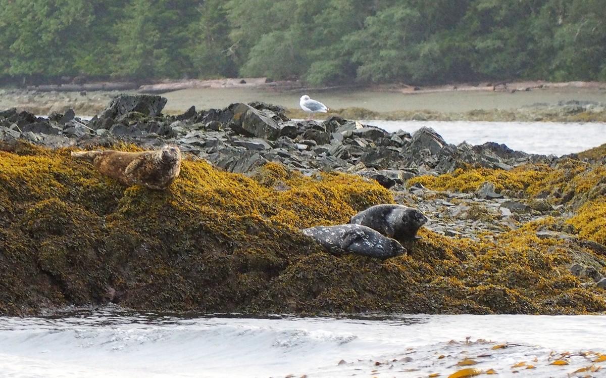 Ketchikan Alaska hylkeitä