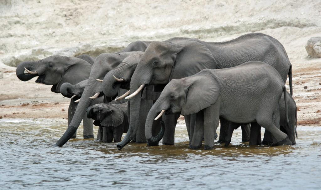 Botswana Chobe norsuja