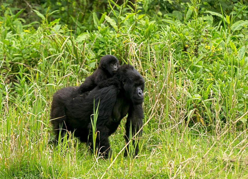 Vuoristogorilloja Ruandassa