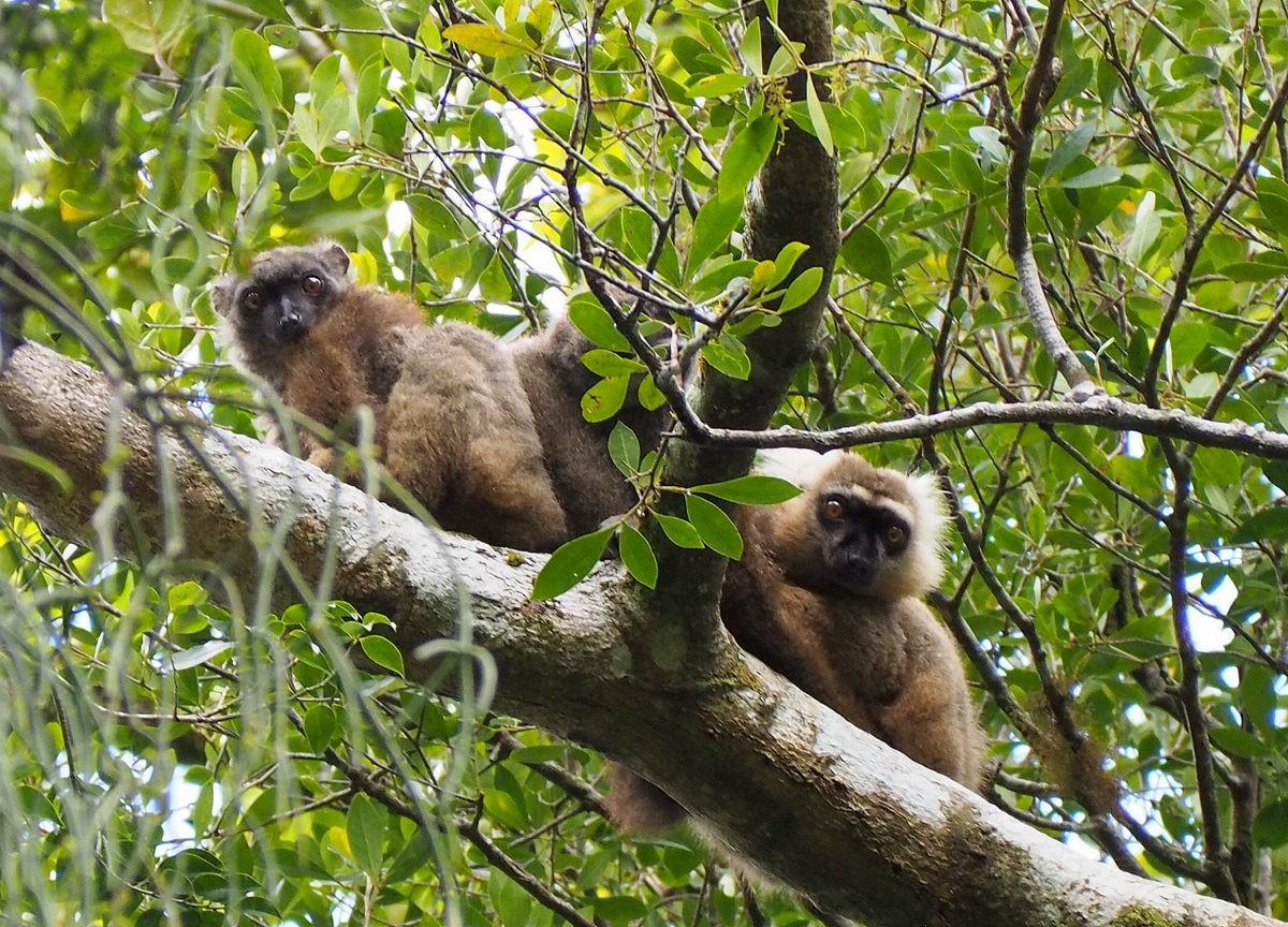 Lemureja Madagaskarilla - Marraskuun matkoja