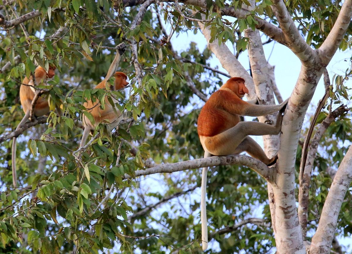 Nenäapinoita Kinabatang Borneo