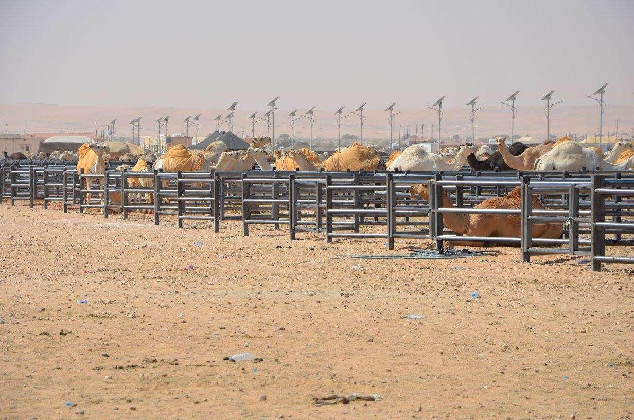 Kamelimarkkinat Riad Saudi-Arabia