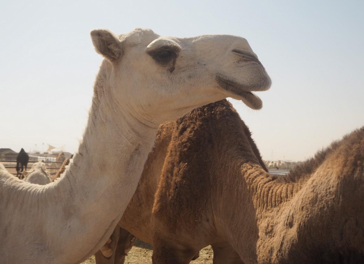 Kameleita Riad Saudi-Arabia