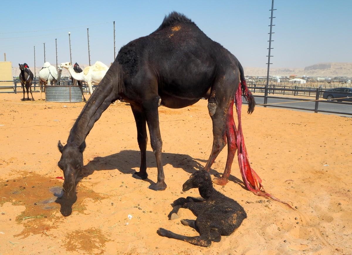 Kamelin syntymä Saudi-Arabia