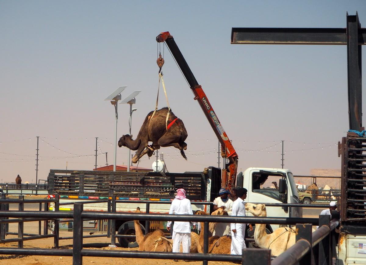 Kamelimarkkinat Saudi-Arabia