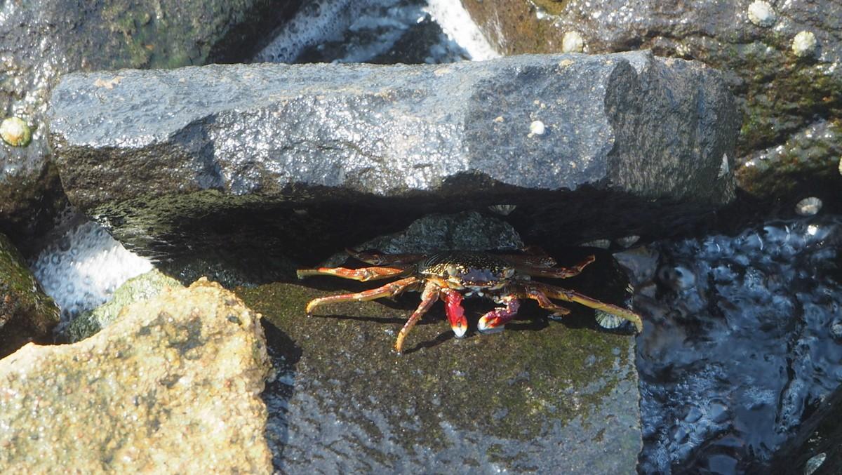 Rapu Jedda Punainenmeri