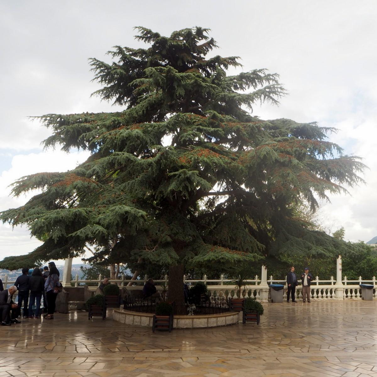 Libanonin seetri Harissa