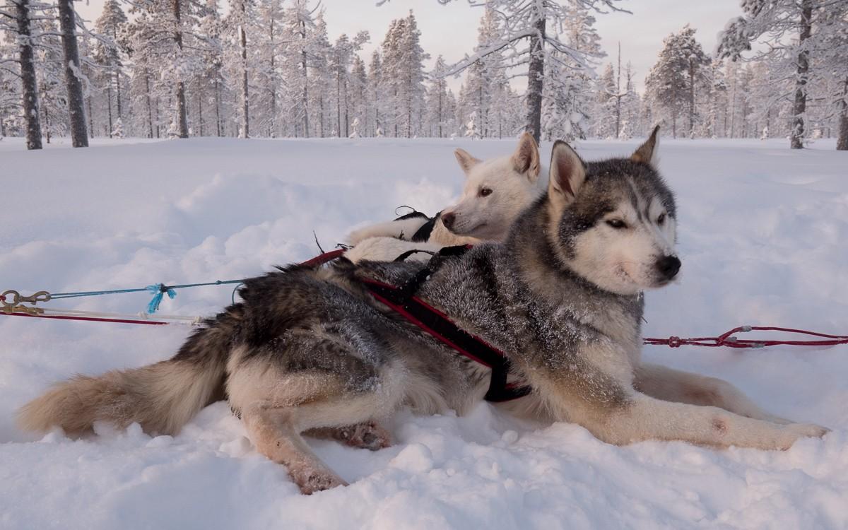 Kakslauttanen Husky