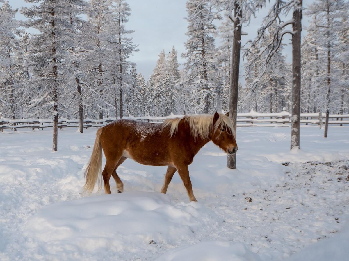 Kakslauttanen hevonen