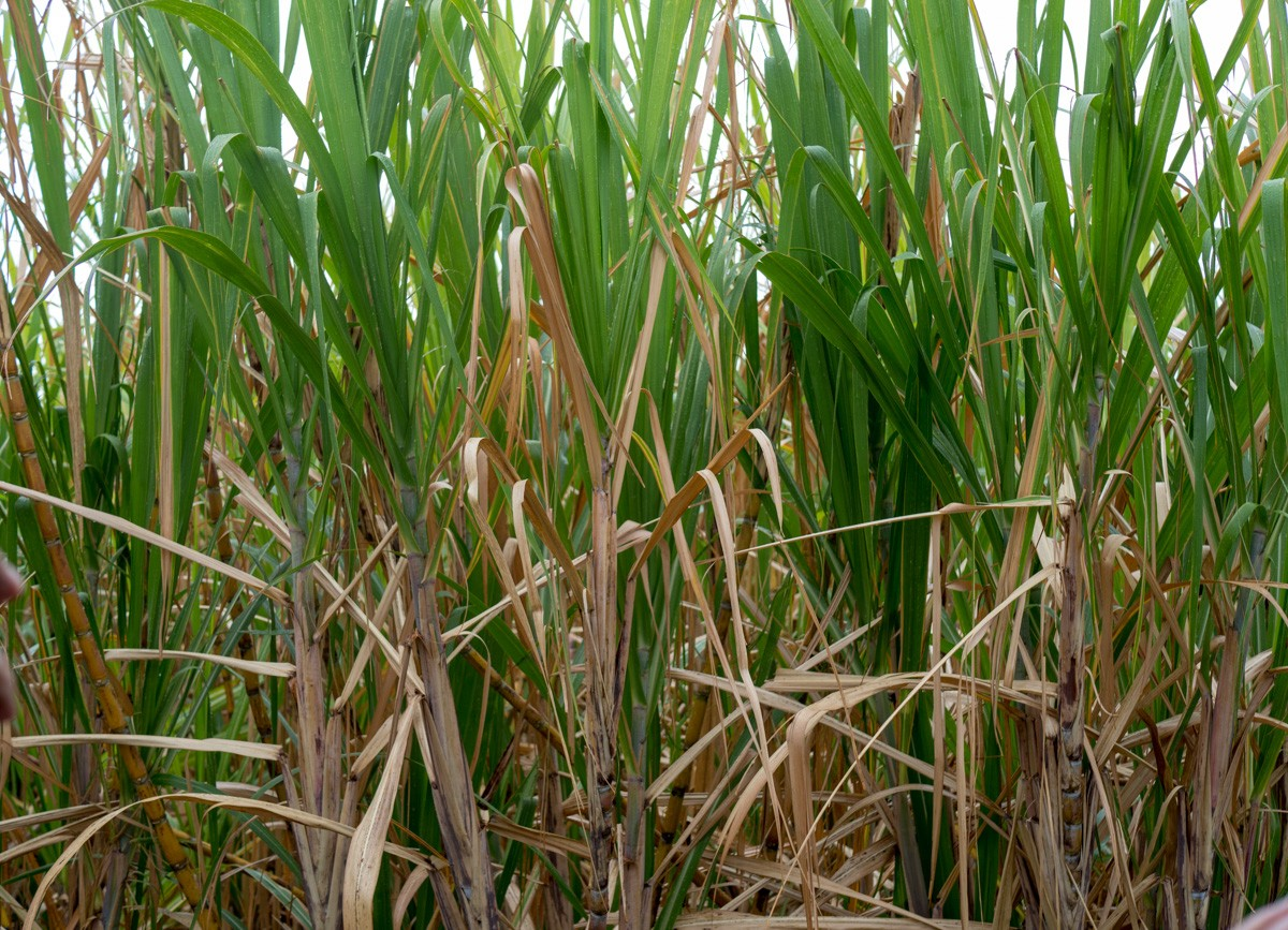 Barbados sokeripeltoja