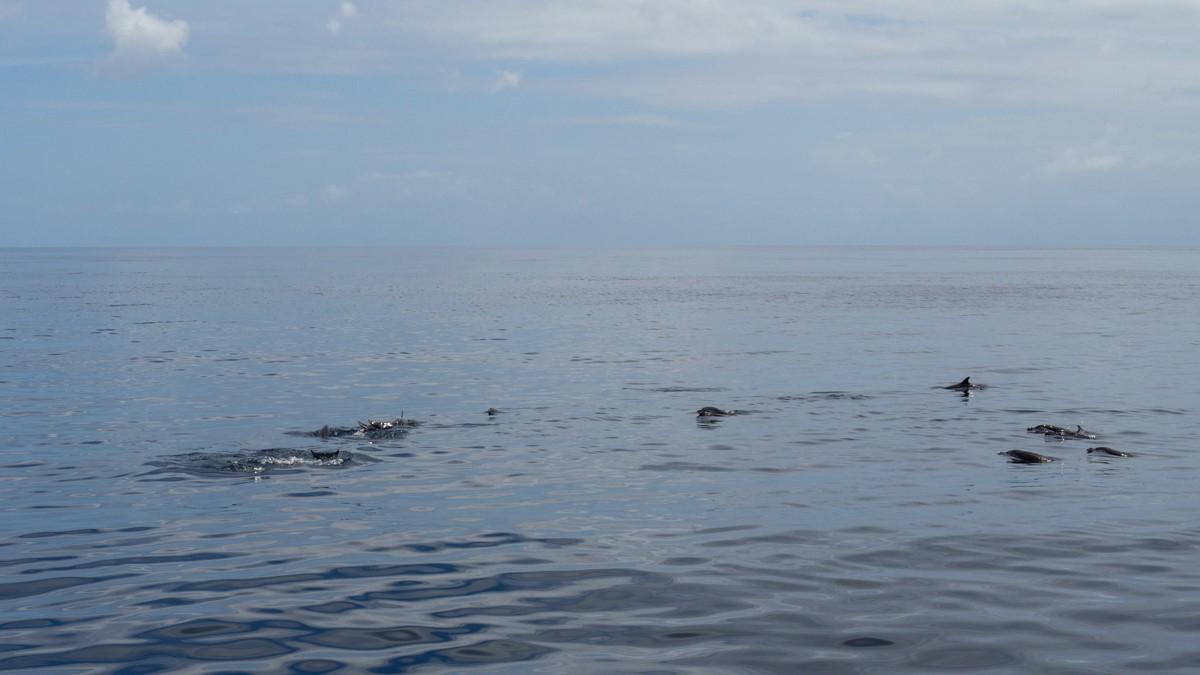 Grenada delfiinit