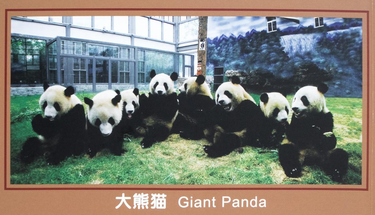 Peking 2018 Beijing Panda