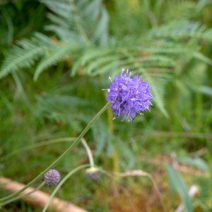 Glen Nevis kukkia