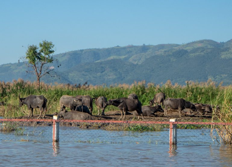 Buffaloita Inle Myanmar