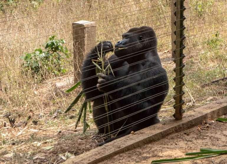 Mefou Kamerun tasamaan gorilla Kamerun Mefou gorillat