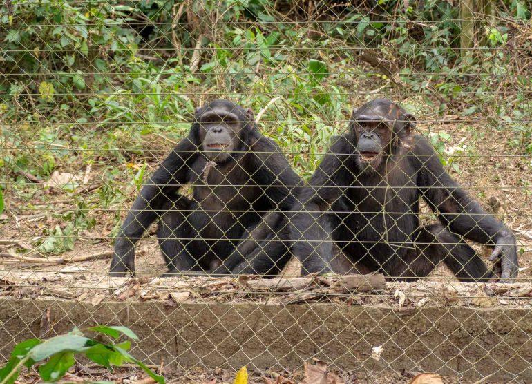 Mefou Kamerun simpanssi