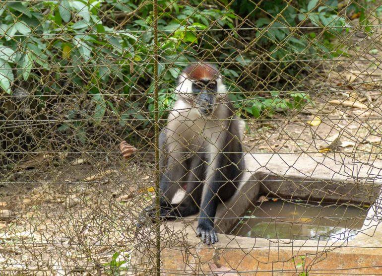 Mefou Kamerun mangabi-apina