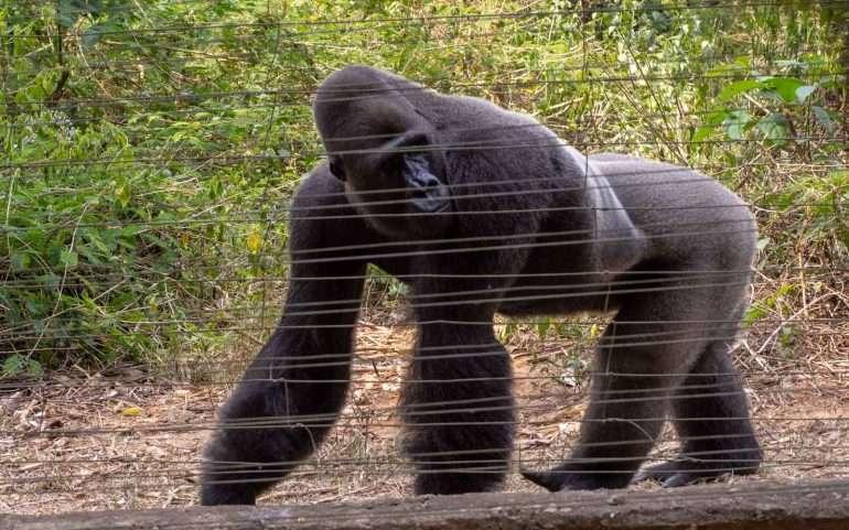 Mefou Kamerun tasamaan gorilla