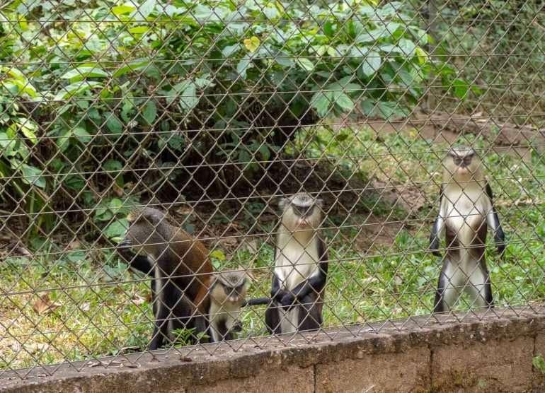 Mefou Kamerun guenon-apina