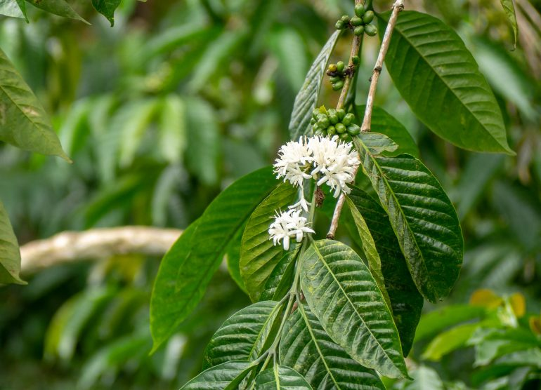 Kahvia Sao Tome