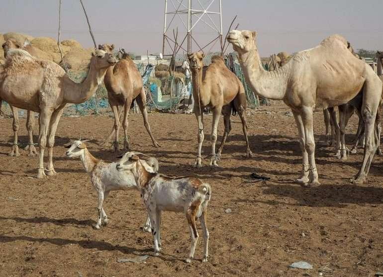 Mauritania kamelit Nouakchott Top3 kokemukset