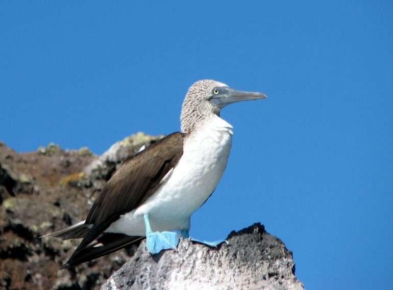 Sinijalkainen suula Galapagos Uudet Unescon maailmanperintökohteet