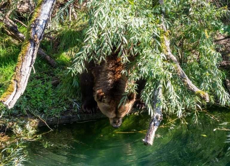 Bernin karhut