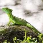 Arenal, Costa Rica – riippusiltoja ja sammakoita