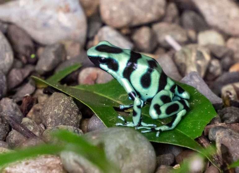 Sammakko Costa Rica