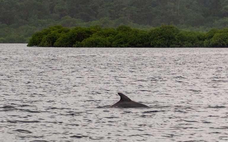 Delfiinit Bocas del Toro Panaman eläimistö