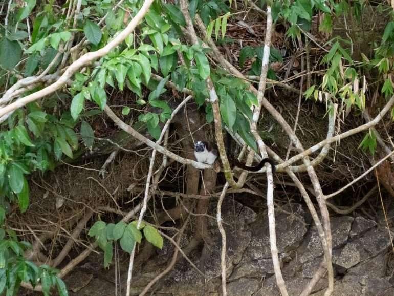 Monkey Island Gatun Panama Panaman eläimistö