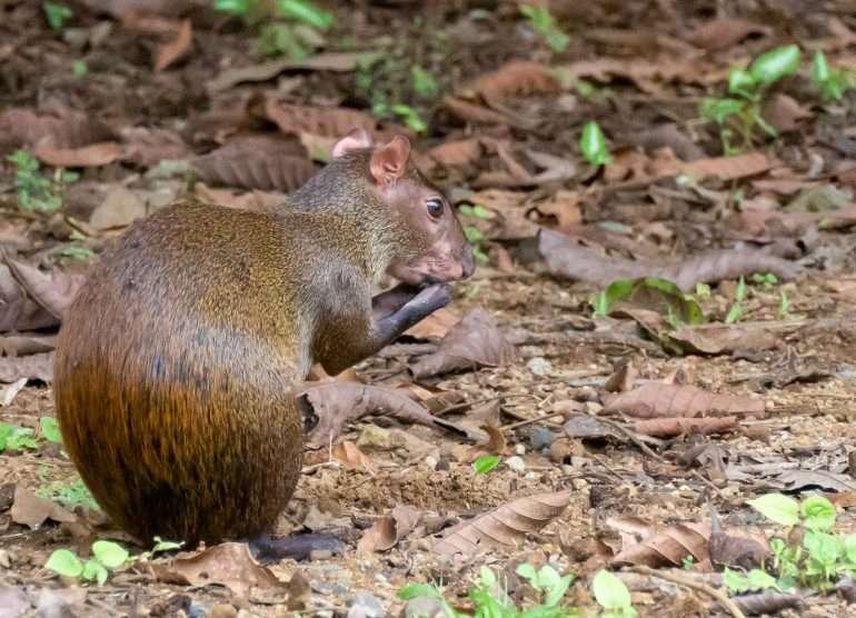 Kultajänis Panaman eläimistö