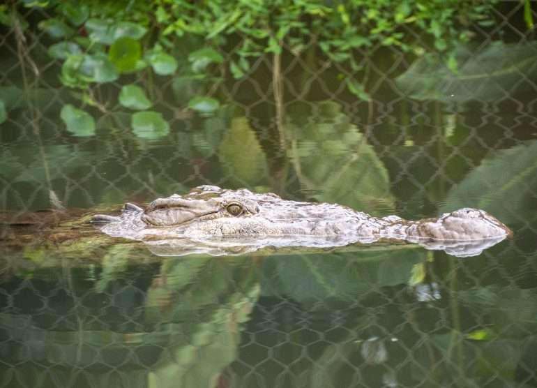 Los Lagos krokotiili