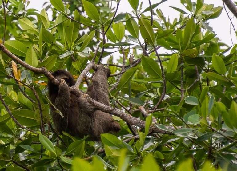 Laiskiainen Panaman eläimistö
