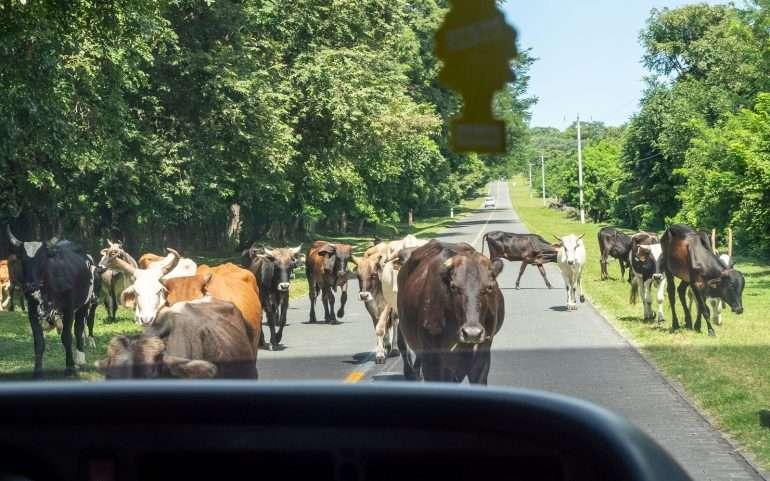 Lehmiä Ometepen saarella