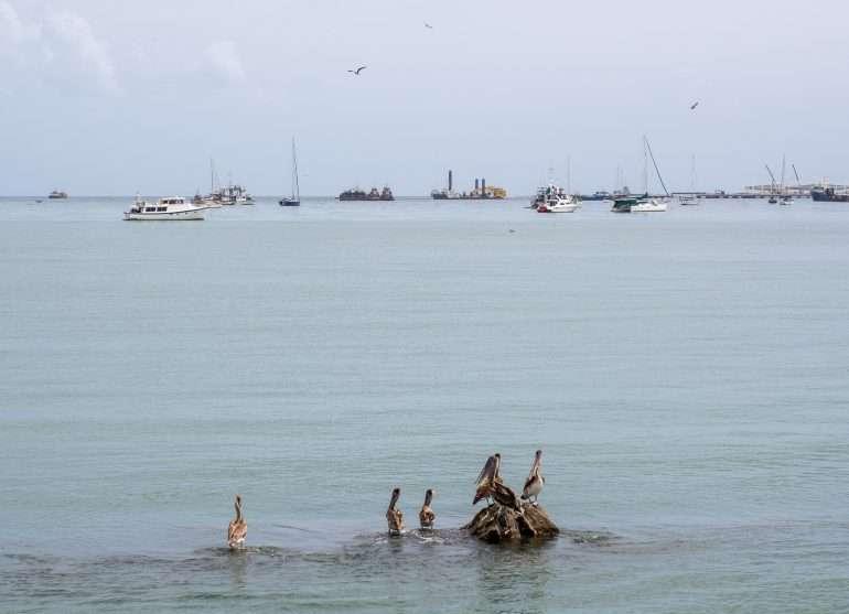 Pelikaaneja Panaman eläimistö