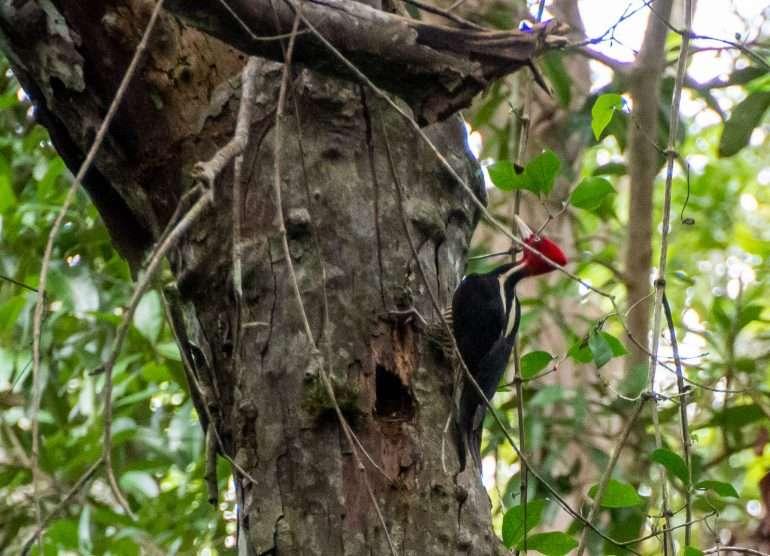Lintuja Guatemala