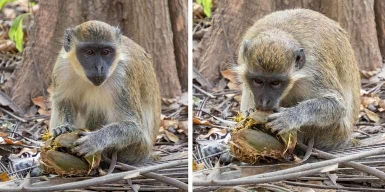 Bijolo apina