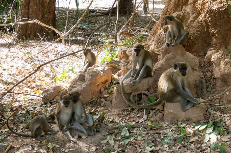 Bijolo apinoita