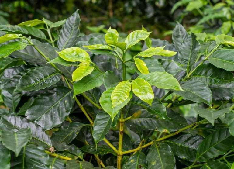Costa Rica kahvi