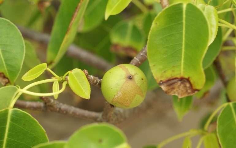 Manzanilla omena