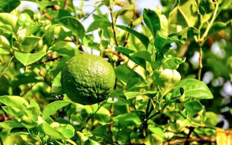 Lahara appelsiini