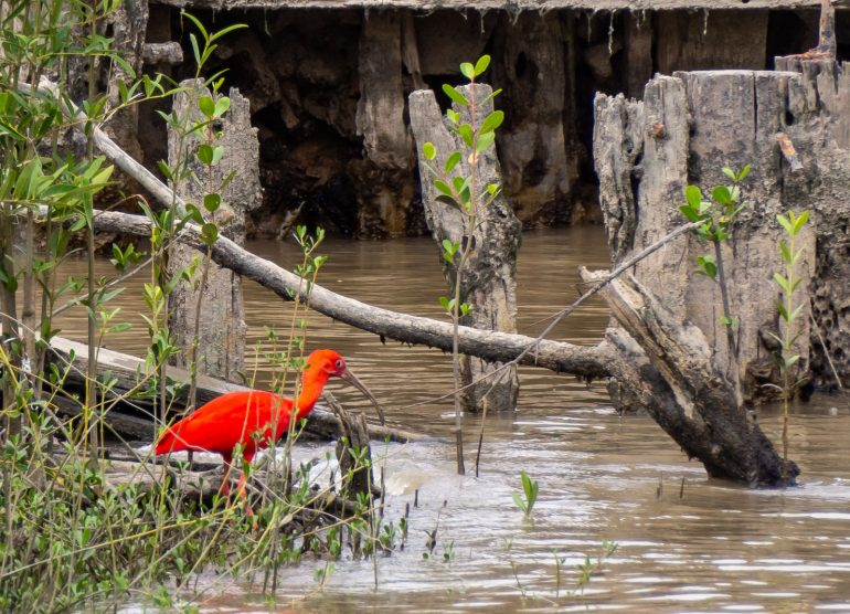 Scarlet Ibis Guyana
