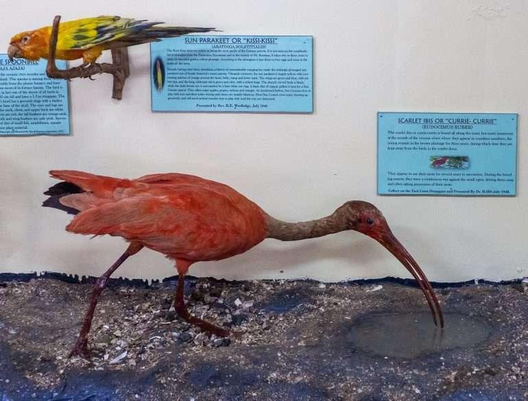 Scarlet Ibis Guyana museo