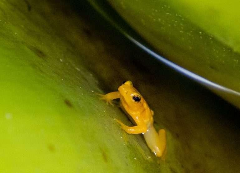 Kaieteurin sammakko