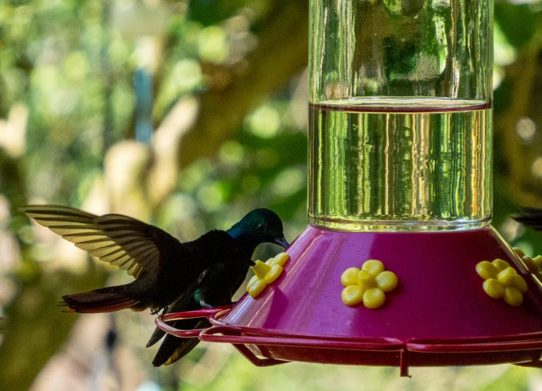 Tobago kolibrit